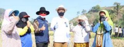 Gubernur Jabar Bersama Wali Kota Cimahi Panen Raya Padi Hasil Metode Jamu Organik Biogro